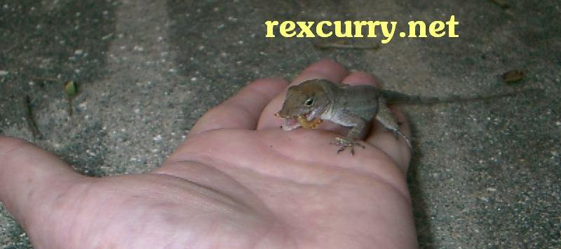 Anole yard lizard trained to eat out of hand Dr. Rex Curry animal behaviorist. Anoles, lizards.